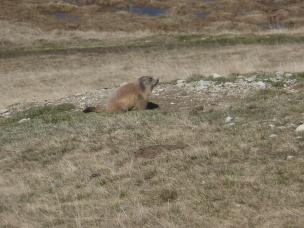marmot-mercantour